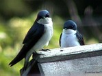 Swallows_2